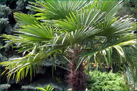 Sabal minor; 'Dwarf Palmetto'